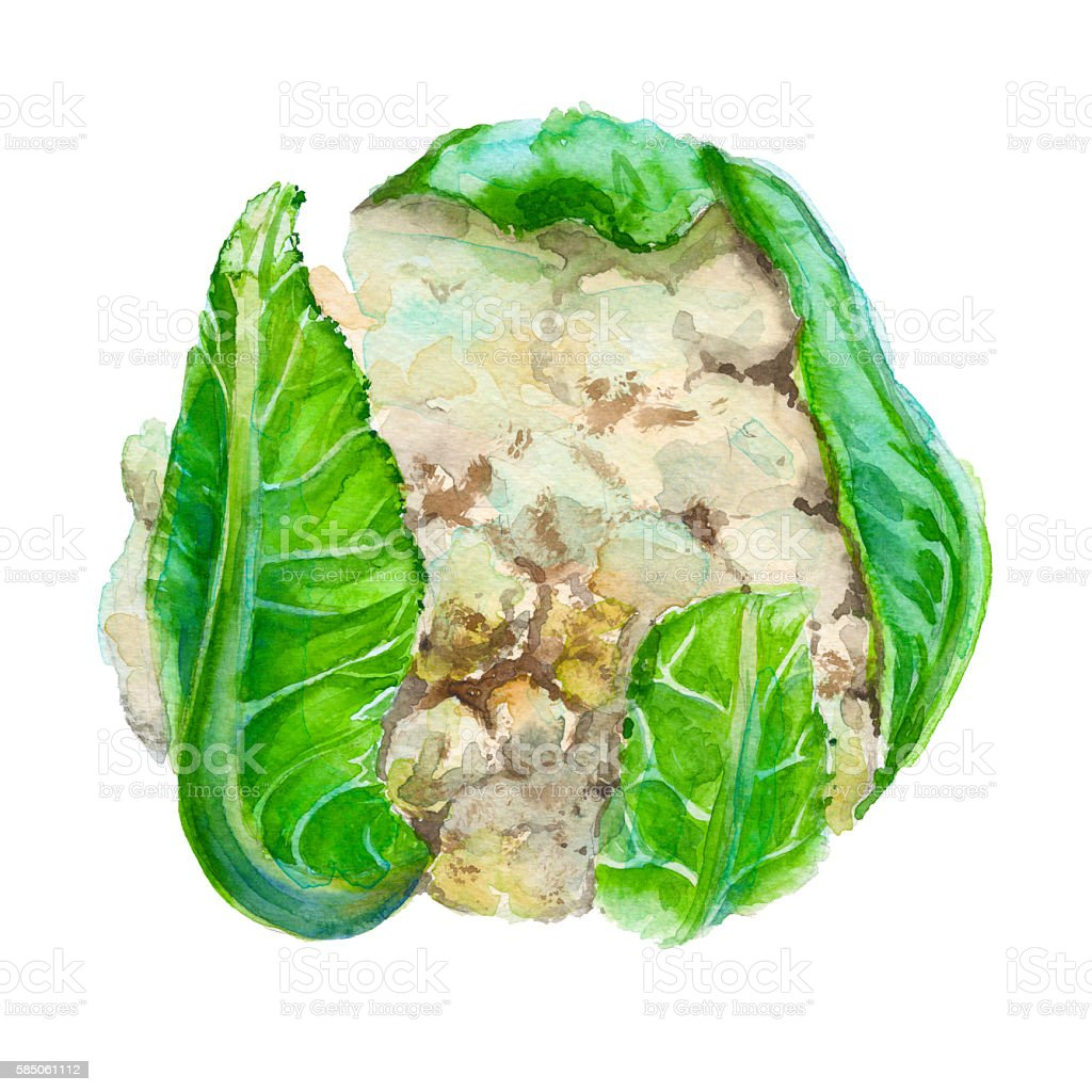 Cauliflower. Isolated. Watercolor illustration. vector art illustration