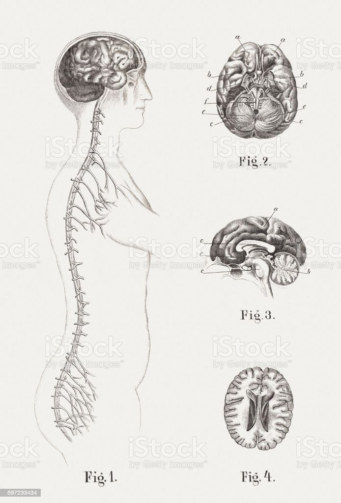 Central nervous system of humans, steel engravings, published in 1861 vector art illustration