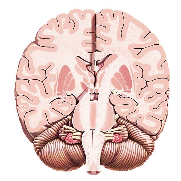 CerebCec Secção tranversal do encéfalo(humano) paralela aos pedúnculos do cérebro, vista frontal, No lado esquerdo da imagem a secção atinge posteriormente até cerca da metade do pedúnculo do cérebro(corte oblíquo) e é um pouco possterior ao lado direito. lateral ventricle stock illustrations