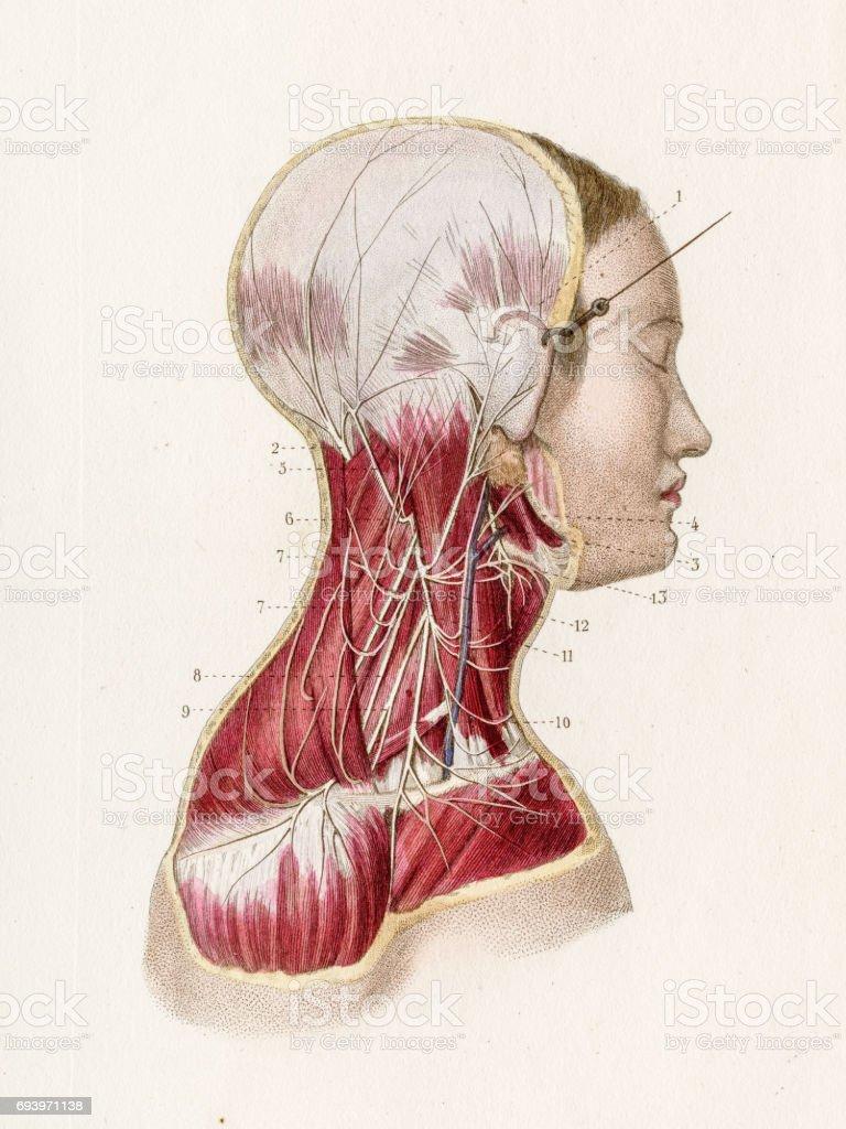 Cervical Plexus Anatomy Engraving 1886 Stock Vector Art & More ...
