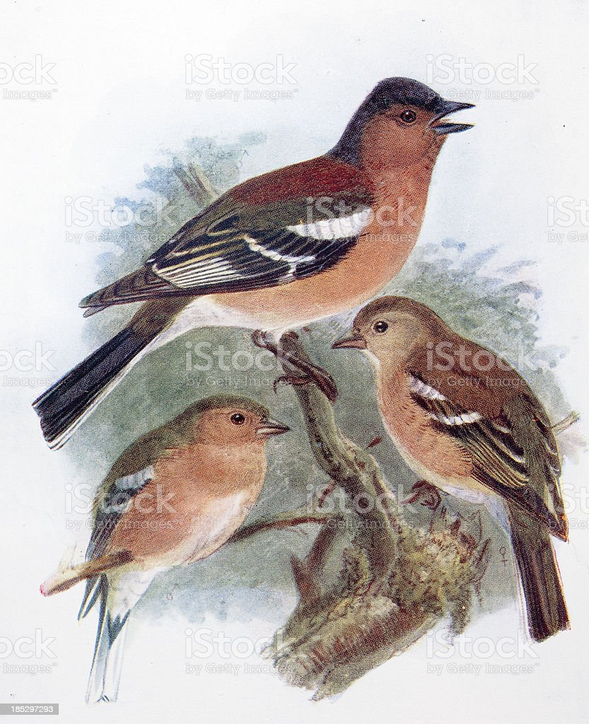 Chaffinch Illustration royalty-free chaffinch illustration stock vector art & more images of animal