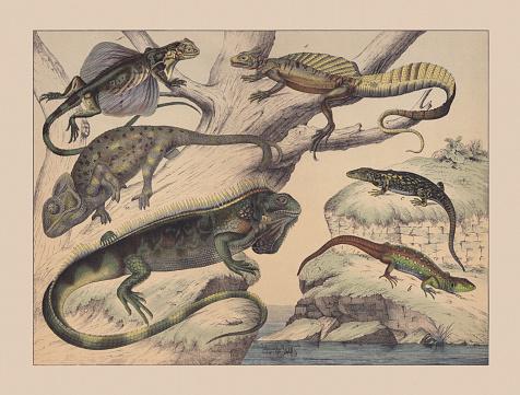 Chameleon (Chamaeleonida), hand-colored chromolithograph, published in 1882