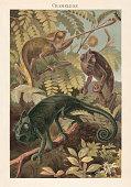 Chameleon (Chamaeleonidae). Lithograph, published in 1897.