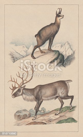 Chamois (Rupicapra rupicapra) and reindeer (Rangifer tarandus). Lithograph, published in 1873.