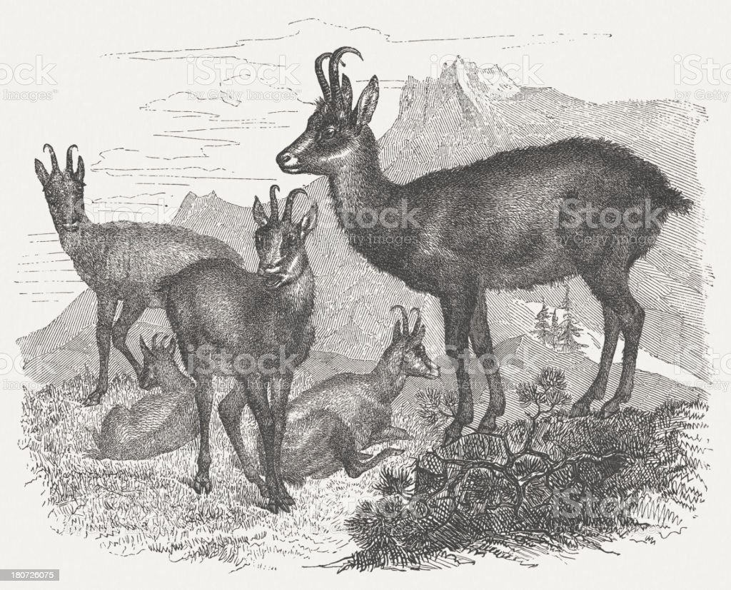 Chamois (Rupicapra rupicapra), wood engraving, published in 1875 royalty-free stock vector art