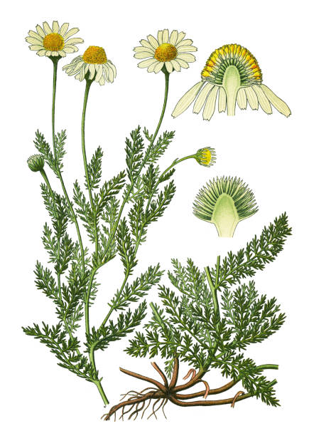 """chamomile, Roman chamomile, English chamomile, garden chamomile, ground apple, low chamomile, mother's daisy, whig plant Antique illustration of a Medicinal and Herbal Plants.  illustration was published in 1892 """"Medicinal Plants of the Russian"""