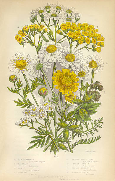 Chamomile, Yarrow, Milfoil, Daisy, Aster, Mayweed, Victorian Botanical Illustration Very Rare, Beautifully Illustrated Antique Engraved Chamomile, Yarrow, Milfoil, Daisy, Aster, Mayweed, Victorian Botanical Illustration Victorian Botanical Illustration, from The Flowering Plants and Ferns of Great Britain, Published in 1846. Copyright has expired on this artwork. Digitally restored. chamomile plant stock illustrations
