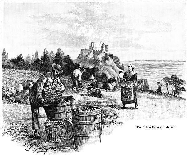 """Channel Islanders gathering the potato harvest in Jersey Local people gathering in the potato crop in Jersey in the Channel Islands. From """"The Cottager and Artisan: The People's Own Paper"""" illustrated by various artists and published by The Religious Tract Society, London, in 1896. picking harvesting stock illustrations"""