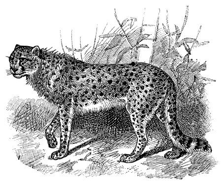 Cheetah | Antique Animal Illustrations