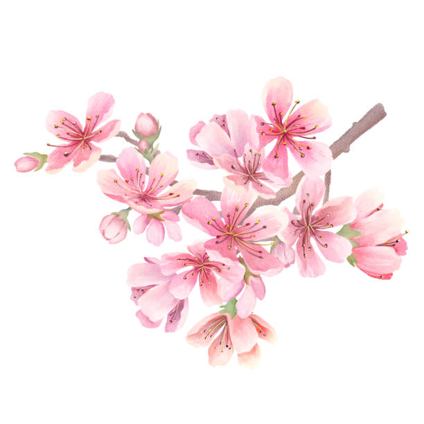 Cherry blossoms watercolor Cherry blossoms watercolor. Branch with flowers. Isolated on white background apple blossom stock illustrations