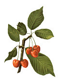 Antique illustration of a cherry, isolated on white background.