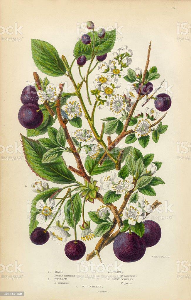 Cherry, Plum, Sloe and Bullace Victorian Botanical Illustration vector art illustration