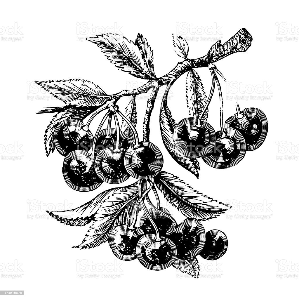 Cherry Tree Branch with Fruits royalty-free stock vector art