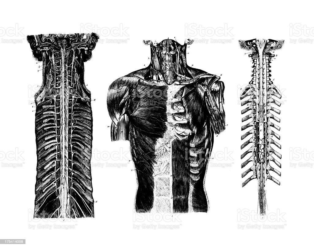 Anatomía De Pechoantigüedades Científica Médica Ilustraciones Y ...