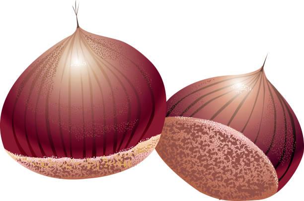 Chestnut vector art illustration
