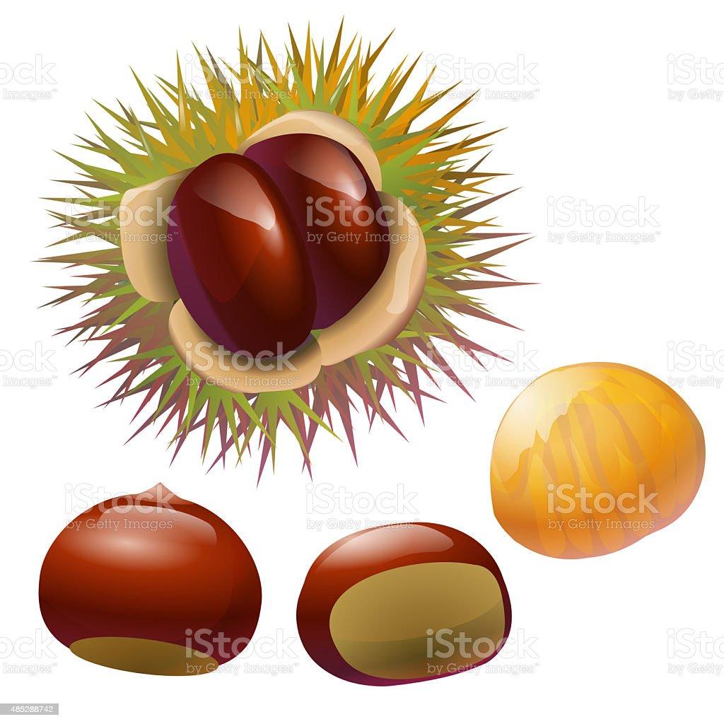 chestnuts illustration vector art illustration
