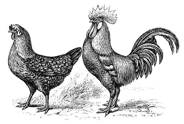 Chicken and cockerel illustration was published in 1895