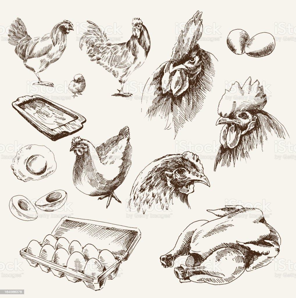chicken breeding vector art illustration