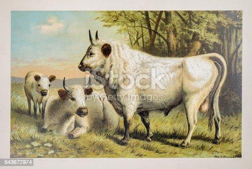 Chillingham cattle - 1885 colour illustration
