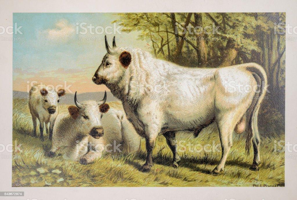 Chillingham cattle vector art illustration