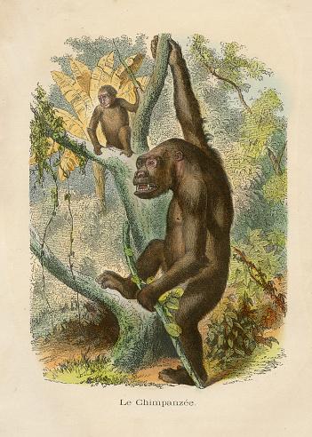 Chimpanzee engraving chromolitography 1880