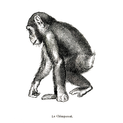 Chimpanzee french botanical illustration with texture paper