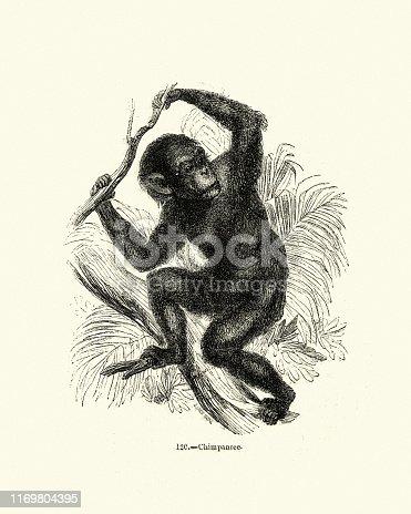 Vintage engraving of a chimpanzee (Pan troglodytes)  also known as the common chimpanzee, robust chimpanzee, or simply