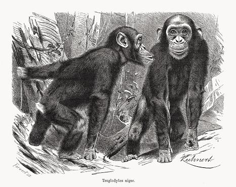 Chimpanzee (Pan troglodytes), wood engraving, published in 1891