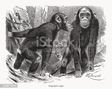 Chimpanzee (Pan troglodytes, or Troglodytes niger). Wood engraving after a drawing by Wilhelm Kuhnert (German painter and illustrator, 1865 - 1926), published  in 1891.