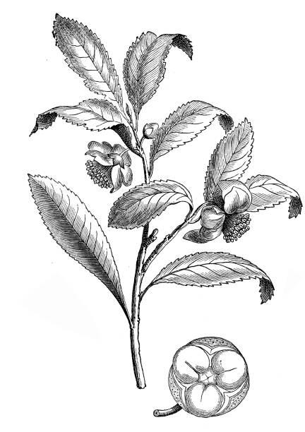 illustrazioni stock, clip art, cartoni animati e icone di tendenza di china tea (camellia sinensis) - camellia sinensis
