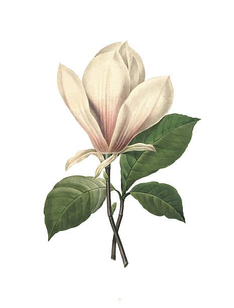 중국 매그놀리아/redoute 아이리스입니다 일러스트 - 꽃 식물 stock illustrations