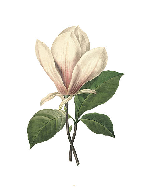 Chinese magnolia | Redoute Flower Illustrations vector art illustration