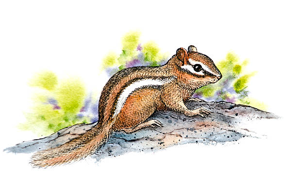 Chipmunk vector art illustration