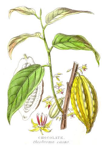 Chocolate plant botanical engraving 1857