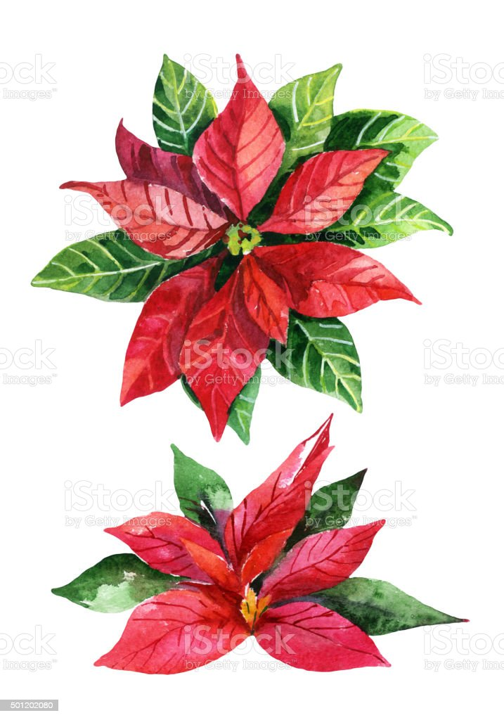 Christmas poinsettia  isolated on white background, watercolor flower vector art illustration