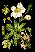 istock Christmas rose, black hellebore 1129906443
