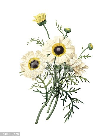 High resolution illustration of a chrysanthemum carinatum, isolated on white background. Engraving by Pierre-Joseph Redoute. Published in Choix Des Plus Belles Fleurs, Paris (1827).