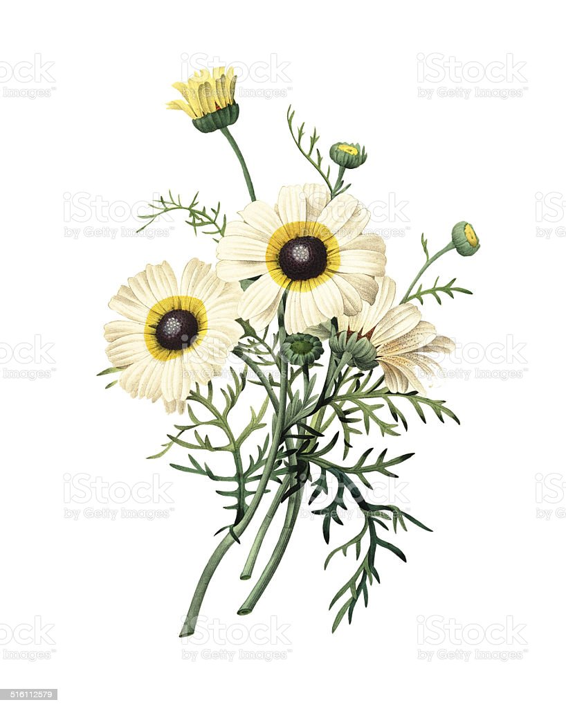 Chrysanthemum carinatum | Redoute Flower Illustrations vector art illustration