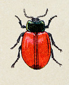 Chrysomela populi, insect animals antique illustration