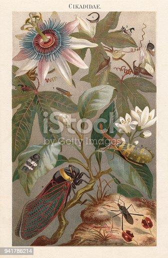 Cicadas: 1) Tettigonia quadripunctata; 2) Cercopis bivittata; 3) Heteronotus reticulatus; 4) Hypsauchenia balista; 5) Membracis elevata; 6) Membracis cruenta; 7) Hemiptycha punctata; 8) Pyrops candelaria; 9) Tacua speciosa; 10) Diactor bilineatus. Lithograph, published in 1897.