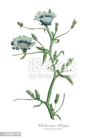 Very Rare, Beautifully Illustrated Antique Engraved Victorian Botanical Illustration of Cichorium Intybus, Chicory Plants, Published in 1886. Source: Original edition from my own archives. Copyright has expired on this artwork. Digitally restored.