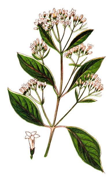 Cinchona officinalis (Quinine Bark tree) vector art illustration