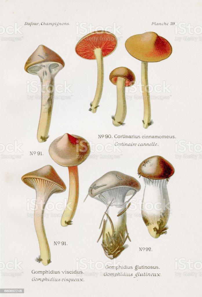 Cinnamon webcap mushroom 1891 royalty-free cinnamon webcap mushroom 1891 stock vector art & more images of antique