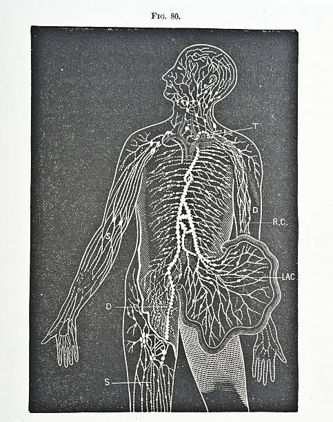 circulatory system - autopsy stock illustrations, clip art, cartoons, & icons