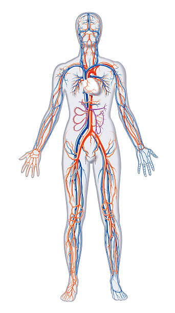 Vectores de Sistema Circulatorio y Illustraciones Libre de Derechos ...