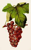 istock Citric Grapes illustration 1892 1021807916