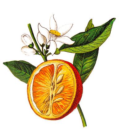 Illustration of a Citrus aurantium (Bitter orange, Seville orange, sour orange, bigarade orange, marmalade orange) (Citrus vulgaris)