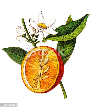 Illustration of a Citrus aurantium (Bitter orange, Seville orange, sour orange, bigarade orange, marmalade orange) (Citrus vulgaris)