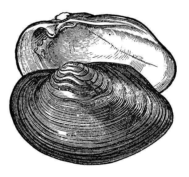 Royalty Free Clam Clip Art, Vector Images & Illustrations ...