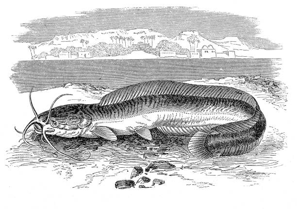 Top 60 Flathead Catfish Clip Art Vector Graphics And Illustrations